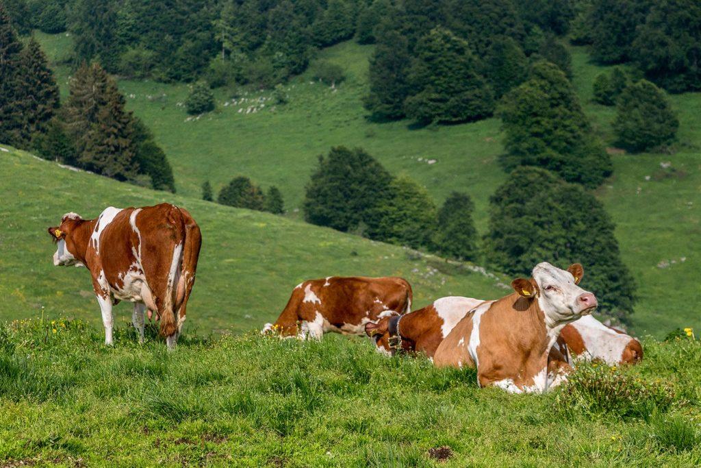 ALTI PASCOLI DELLA LESSINIA: A INIZIO SETTEMBRE DUE INCONTRI INFORMATIVI DEDICATI ALLE AZIENDE AGRICOLE